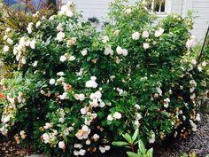Maidens Blush,nydelig busk rose ,fantastisk duft