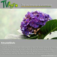 AnotaElDato La hortensia flor de variados colores como: blanco, azul, rosa y otros.