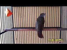 Masteran Kapas Tembak Gacor - YouTube Pets, Animals And Pets