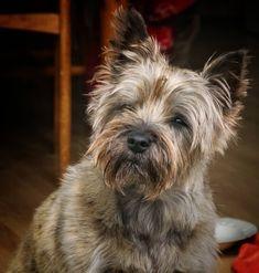 My boy . Cairn Terriers, Cairns, Westies, Little Dogs, Scottie, Dog Stuff, Dog Days, Dog Breeds, Cairn Terrier