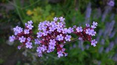 IJzerhard (Verbena bonariensis)