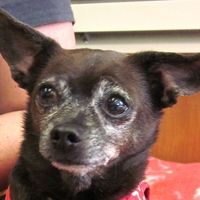 ***7/17/14 STILL LISTED***Cute Muttville mutt: Amigo 2415 (Chihuahua mix | Male | Size: small (6-20 lbs))