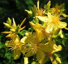 Flors del pericó o herba de Sant Joan (Hypericum perforatum)