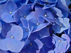 blue hydrangea: 4th wedding anniversary flower. meanings range from proud and boastful to enduring grace and beauty
