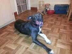 CHICAGOLAND - Ms Jackson ID# 21636045: female Staffordshire Terrier mix; 2yrs. This girl gave birth to 6 lovely pups just four days after rescue. She was a wonderful mom, and is ready for a forever home now. She currently lives with other dogs and young children. She's super patient, loves belly rubs and kisses. Fur Angels has been caring for her, and you can submit an adoption application for her at http://furangelsas.com/pages/adoption.html