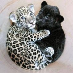 baby jaguar and baby panther