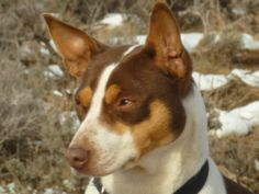 Rat Terriers were cherished as loyal hunting companions and efficient killers of vermin on 20th century American farms: because of this, they were one of essentially the most well-liked dog varieties in the 1920s for the 1940s.