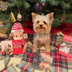 Mum I hope these are not the last of our Christmas cards!  Thank you to our dear friends @divine_houston_lillyrose_ @samitheyorkie and @ayorkienamedcharlie for your beautiful  cards! We are so thankful for your friendship . #teddythetinyterrier #yorkshireterrier #yorkie #dog #saturday #christmascards #asos #curiousgeorge #papyrus #blanketscarf by teddy_the_tiny_terrier