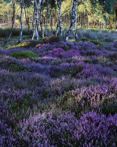Lawrence Field Heather as evening falls in August by Dav Thomas
