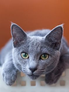 Like other sociable cat breeds, Russian Blue cat develop a special relationship with his master.