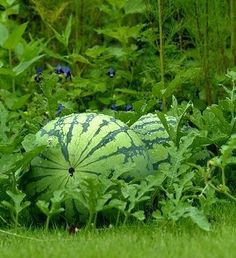 Watermelon - how to grow watermelons? Simply, nurture them and provide them with enough heat and irrigation starting already at pre sprouting seed towards growing plant in bed.