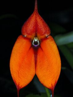 Orchid: Epidendrum radioferens -  by Eric Hunt.