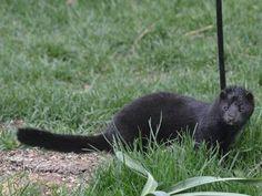 Photo: Black mink spotted in a backyard
