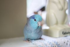 blue parrotlet i want this pretty little thing.. i'm kinda obsessed about it..