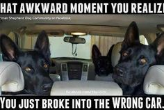 Wicked Training Your German Shepherd Dog Ideas. Mind Blowing Training Your German Shepherd Dog Ideas. Funny Animal Memes, Cute Funny Animals, Dog Memes, Funny Animal Pictures, Dog Pictures, Funny Dogs, Dog Humor, Shepherd Puppies, German Shepherd Dogs