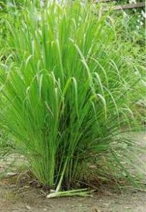 Some plants that can be planted around your backyard to repel snakes naturally - Wormwood, Tulbaghia Violacea, Lemon Grass, Sarpgandha, Andrographis paniculata ][ Other common repellants - Homemade Snake Stopper (garlic mixture), Cinnamon Oil, Clove Oil, Liquid Fence (natural commercial snake repellant)