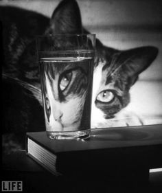 Cat peering through glass (Time/Life Cover) by Nina Leen || Original in color - http://www.barewalls.com/i/c/450871_Cat-Peering-Through-Glass.jpg