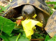 Mois par mois – Tortue de terre.info Baby Tortoise, Sulcata Tortoise, Tortoise Turtle, Popeye And Olive, Cute Turtles, Tortoises, Reptiles, Animals And Pets, Info