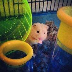 Peanut the Hamster #cute #hamster