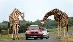 Google Image Result for http://upload.wikimedia.org/wikipedia/commons/e/e6/Giraffes_at_west_midlands_safari_park.jpg