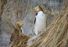 Yellow-eyed penguins