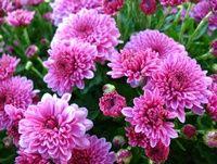 'Cheryl Pink' (Hardy Garden Mum)