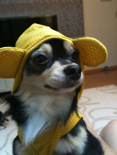 Chihuahuas - the cutest little bad asses you will ever meet!