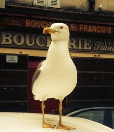 Möwe, Seagull, gabbiano, mouette