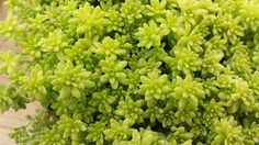 Hey, I found this really awesome Etsy listing at https://www.etsy.com/listing/230640019/succulent-plant-sedum-gold-moss-bright