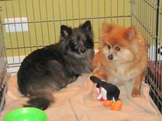 copy to facebook red pomeranian puppies - Google Search