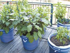 Containers can be the gardener's answer to tight spaces too. If you want a vegetable or herb garden but don't have a yard, you can have your garden in containers. Luckily, you don't need a lot of space to grow herbs, and just about every herb does well grown in a pot. Click deck garden photo to read entire gardening article: Container gardening may be the ticket by Paul Barbano