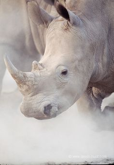 beautiful white rhino - alomst extinct.