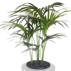 An elegant, sturdy palm with gracious spreading dark green fronds, Howeia fosteriana (Kentia Palm) can handle low, medium and high light areas!