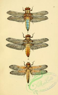 dragonflies-00145 - 020-libellula - masterpiece scan old botany free 1700s fabric Paper books printable instant download scrapbooking collage  botanical supplies use 17th 1800s transfer 300 dpi wall domain Pictorial blooming 18th floral nice craft illustration ornaments nature pages clipart ArtsCult.com pre-1923 picture collection high digital lithographs public Edwardian Graphic Artscult Victorian paintings art flower 1900s decoration naturalist vintage natural plants ArtsCult century flora…