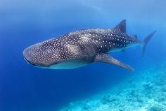 Whale shark, my favorite of God's creatures :)