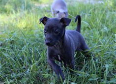 Italian Greyhound (Sighthound) breeder in Europe Sunnymoon Place. You could buy Italian Greyhound puppy here. Italian Greyhound Puppies, Greyhounds, Black Boys, Puppies For Sale, Pitbulls, Dogs, Italian Greyhound, Animaux, Black Kids