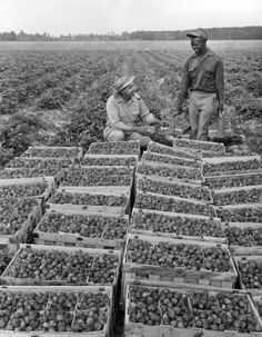 Strawberry picking 6/1953 :Herman and Bozman and one of his pickers about to put lids on crates of berries. Acres of Strawberries. Marion Station, in Somerset County, is the heart of an immense strawberry producing area. Every year, in May hundreds of thousands of dollars worth of the fruit is brought here for auction. The region also supplies some 50,000,000 young plants annually to growers elsewwhere in Maryland and in states in the north.