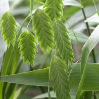 Inland Sea Oats Product Detail at Native American Seed for full shade Perennial Grasses, Perennials, Native American Seed, Erosion Control, Border Plants, River Bank, Big Tree, Types Of Soil, Winter Landscape
