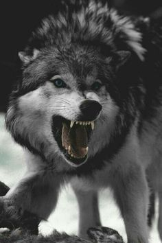 Snarling wolf in black and white - Murray Mitchell Wolf Photos, Wolf Pictures, Wolf Love, Wolf Tattoos, Wolf Spirit, Spirit Animal, Beautiful Wolves, Animals Beautiful, Snarling Wolf