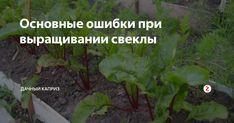 Свеклу нужно выращивать правильно, поскольку в противном случае можно забыть о большом урожае. Но если постоянно придерживаться основных правил и не совершать стандартных ошибок начинающего садовода, то в конце сезона можно рассчитывать на солидный урожай. Посев Высеивать семена в открытый грунт нужно правильно и вовремя. Как только начнут прорастать первые сорняки, нужно прополоть их и оставить н