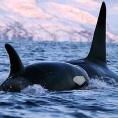 Orcinus orca in the wild, where they belong. Empty the tanks around the world and let them live wild! #seaworldsucks Take the pledge to NEVER buy a ticket to a marine park or dolphinarium of any kind.