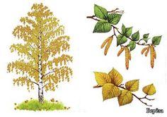 Расскажите детям о деревьях и кустах. Trees To Plant, Plant Leaves, Botanical Illustration, Cactus Plants, Nature, Aster, Preschool, Education, Birthday