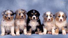 australian shepherd | Australian Shepherd puppies