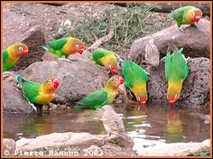 Fischer's Lovebirds, small area of E/Central Africa & S/SE Lake Victoria