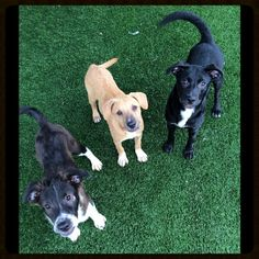 Meet the Three PUPSketeers! Frederick, Fitz & Rebecca are all waiting patiently for their forever homes! We are open 12-5 every day ☀️ Come in and meet your new #BFF ♥️ #adopt #puppies #shelterdogs #love #cute #support #volunteer #mutts