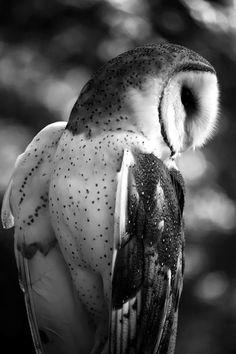 A barn owl named Emily • photo: Dragonap on deviantart