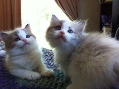Mink sisters Ragamuffin Cat, Cattery, Mink, Cats And Kittens, Sisters, Kitty, Animals, Cuddle Cat, Animales