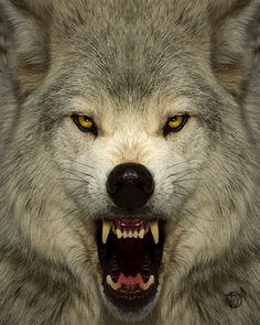 """w-o-l-f–g-i-r-l: """" Angry wolf dy Don Dodd Rise oh moon for it is time for the wolf to howl. The wolf is awake, roaming and longing for your light. Wolf Images, Wolf Photos, Wolf Pictures, Wolf Spirit, Spirit Animal, Beautiful Wolves, Animals Beautiful, Animals And Pets, Cute Animals"""