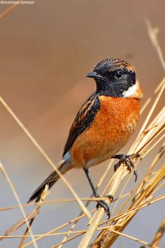 Siberian Black-headed Stonechat looking quizzical