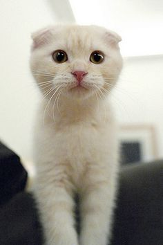 Scottish Fold. i love his ears. so much. its adorable.